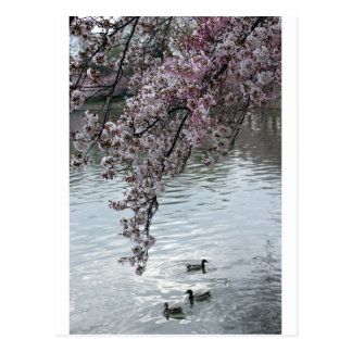 Cherry Blossoms Washington DC Postcard