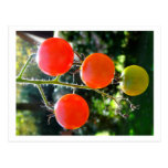 Cherry Tomato Postcard