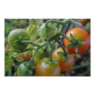 Cherry tomatoes on the vine photo poster print