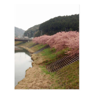 Cherry tree blossoms in Japan Postcard