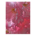 Cherry Trees Beautiful Pink Blossom Post Card Postcard