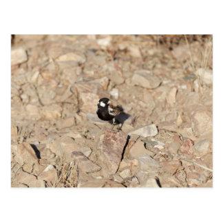 Chestnut backed sparrowlark (Eremopterix leucotis) Postcard