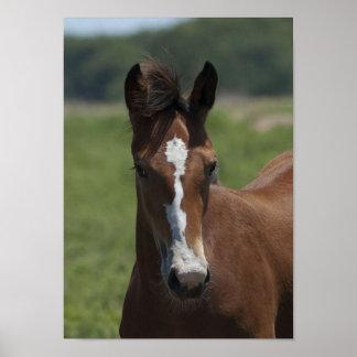 Chestnut Foal Poster