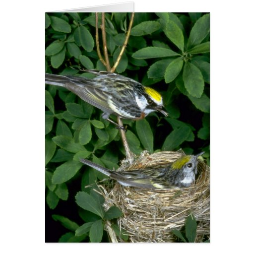 Chestnut-sided Warblers on nest Greeting Card