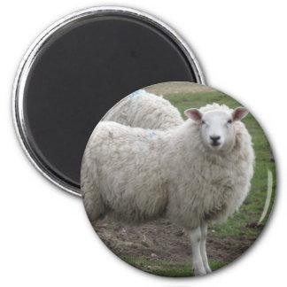 Cheviot sheep 2 inch round magnet