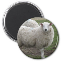 Cheviot sheep magnet