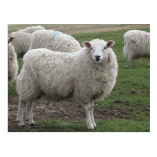 Cheviot sheep postcard