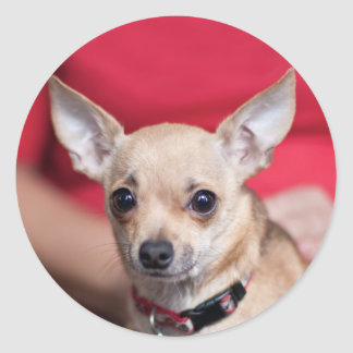 Chi Chi Sweet Pea Brown Chihuahua Sticker