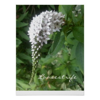 """CHIC POSTER_""""Loosestrife"""" WHITE/GREEN FLORAL Poster"""