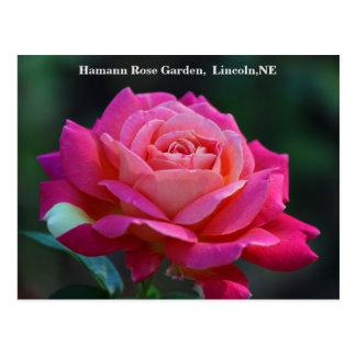 Chicago Peace Rose Postcard HRG 500n 2014
