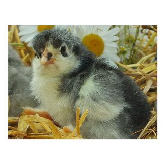 chick,