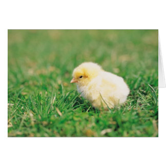 Chick in Grass Card