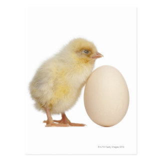 Chick with egg (2 days old) postcard