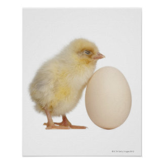 Chick with egg (2 days old) poster