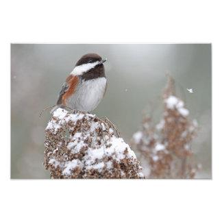 Chickadee apoyado castaña en la nieve cojinete