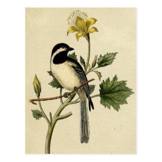 Chickadee atado largo postal