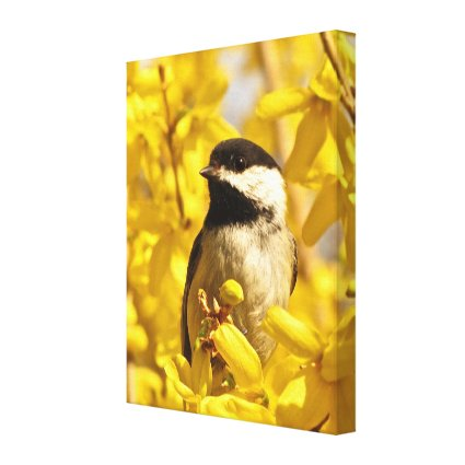 Chickadee Bird in Forsythia Flowers Canvas Print