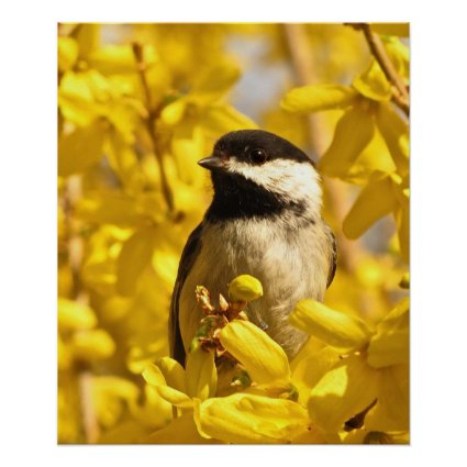 Chickadee Bird in Forsythia Flowers Poster