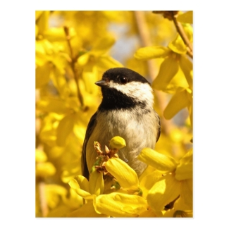 Chickadee Bird in Yellow Flowers Postcard