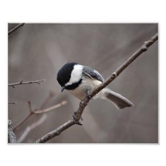 Chickadee capsulado negro fotografía