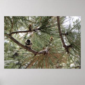 Chickadee de la montaña en árbol de pino posters