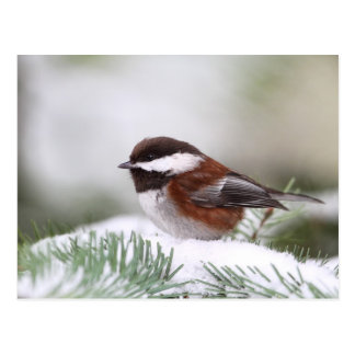 Chickadee en la nieve