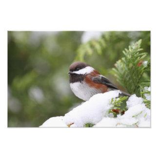 Chickadee en nieve en un árbol de cedro cojinete
