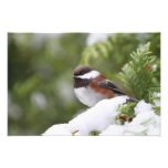 Chickadee en nieve en un árbol de cedro fotos