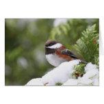 Chickadee en nieve en un árbol de cedro tarjeta de felicitación