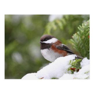 Chickadee en nieve en un árbol de cedro tarjetas postales