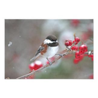 Chickadee en nieve que cae con las bayas rojas impresion fotografica