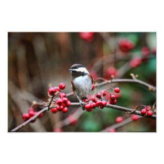 Chickadee en rama con las bayas rojas impresiones fotograficas