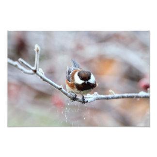Chickadee en una rama de árbol escarchada impresiones fotograficas