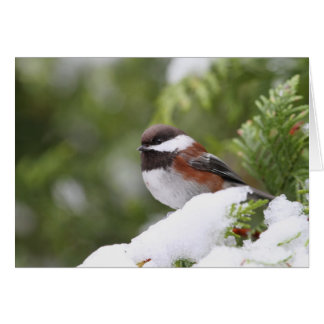 Chickadee in Snow on a Cedar Tree Card