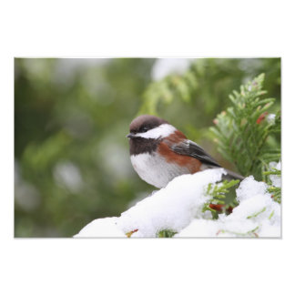 Chickadee in Snow on a Cedar Tree Photo Print