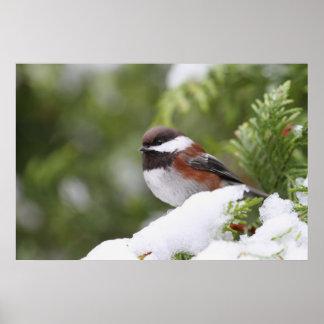 Chickadee in Snow on a Cedar Tree Poster