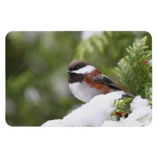 Chickadee in Snow on a Cedar Tree Rectangular Photo Magnet