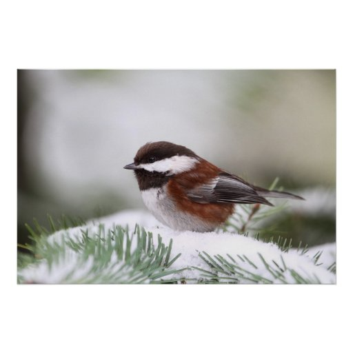 Chickadee in the Snow Posters