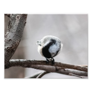 Chickadee Looking For Insects Photography Print