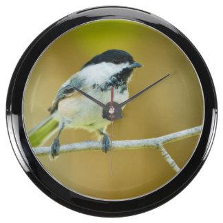 Chickadee Negro-Capsulado encaramado en Cottonwood Relojes Acuario