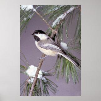 ¿Chickadee Negro-capsulado? fondo gris Poster