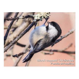 Chickadee Negro-capsulado Tarjeta Postal