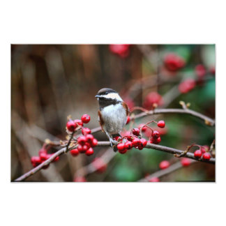 Chickadee on Branch with Red Berries Photo Print
