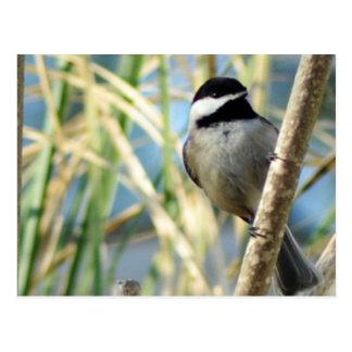 Chickadee Upclose Postcard