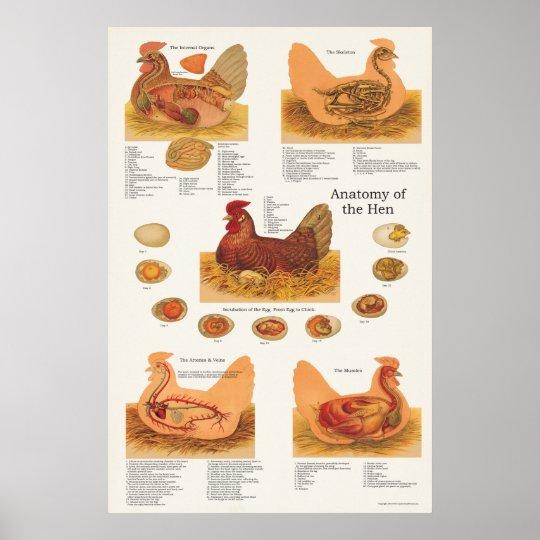 Chicken Hen Anatomy Poster Zazzle