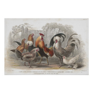 Chicken & Hen Antique Lithographic print