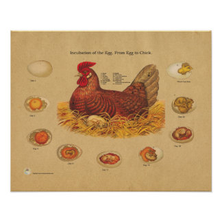 Chicken Hen Egg Incubation Chart Poster