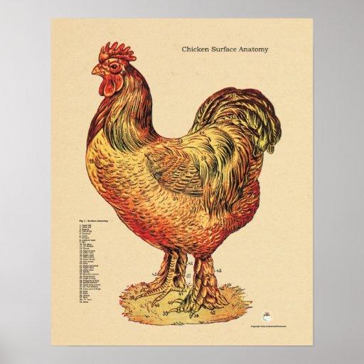 Chicken Hen Surface Anatomy Chart Poster