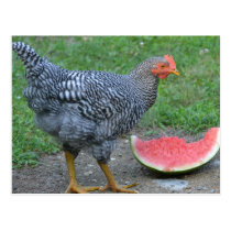 Chicken Loves Watermelon Postcard