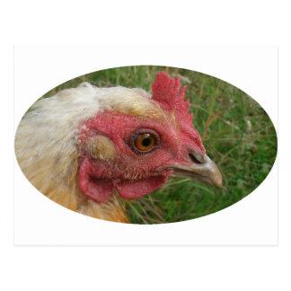 Chicken Postcard
